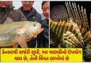 એક માછલીની કિંમત લાખોમાં છે, પણ તેનો ઉપયોગ બીમારી દૂર કરવામાં રામબાણ છે